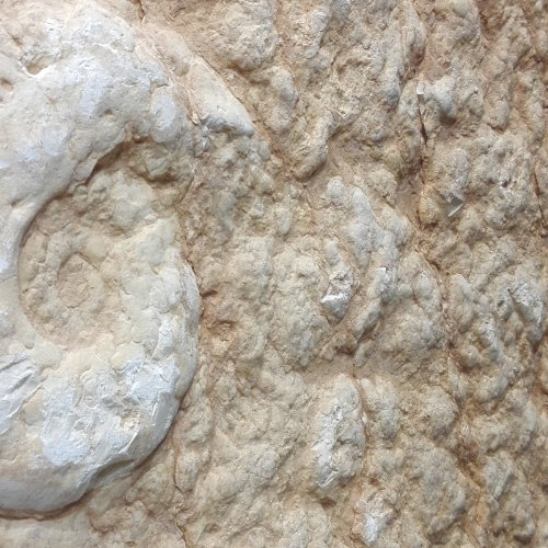 Fossile in pietra della Lessinia